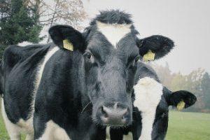 Boerin verliest (melk)vee